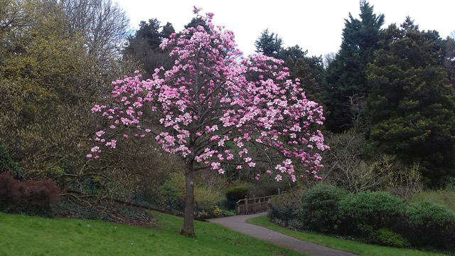 Himalayan Magnolia at Belle Vue, by Gerry Rose