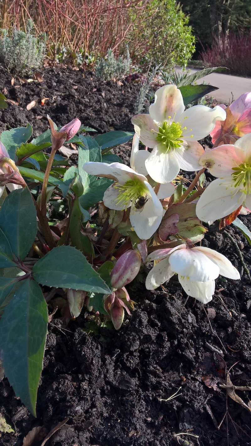 Hellebores at Belle Vue.jpg